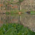 ミズバショウの葉っぱ越しの彩美池