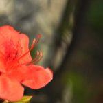 ヤマツツジの花