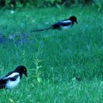 カササギの若鳥たち-3